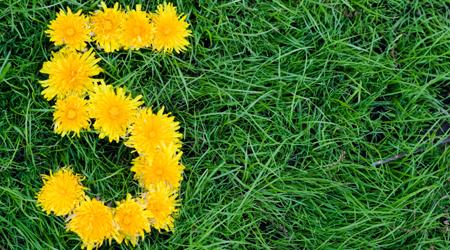 Flowers of Dandelion  in a Shape of a Five